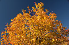 Autumn colored tree leaves Royalty Free Stock Image