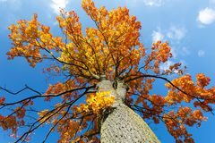 Autumn colored tree top in fall season. Against blue sky Stock Photo