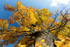 Autumn colored tree top in fall season. Against blue sky Royalty Free Stock Image