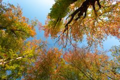 Autumn colored tree top in fall season royalty free stock photos
