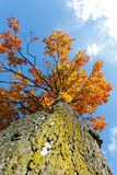 Autumn colored tree top in fall season. Against blue sky Stock Image