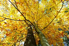 Autumn colored tree top in fall season. Against blue sky Royalty Free Stock Photography
