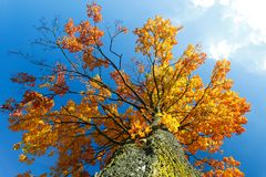 Autumn colored tree top in fall season. Against blue sky Stock Photos