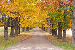 Autumn colored trees on a long path royalty free stock image