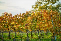 Autumn colored vineyard Stock Image