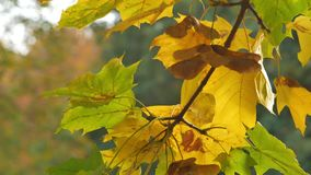 Autumn colorful bright branch tree with bright foliage on aautumn park background stock footage