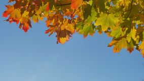 Autumn colorful bright branch tree with bright foliage on a blue sky background stock video