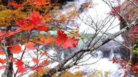 Autumn colorful foliage and the rapid stream of the Yukawa River