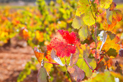 Autumn colorful golden red vineyard leaves Royalty Free Stock Image