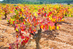 Autumn colorful golden red vineyard leaves Stock Image