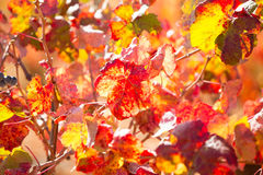 Autumn colorful golden red vineyard leaves Stock Photography
