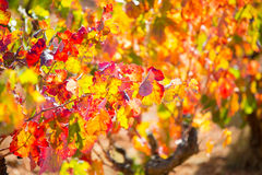 Autumn colorful golden red vineyard leaves Royalty Free Stock Photo
