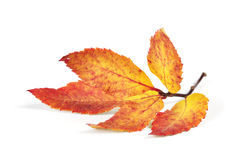 Autumn colorful leaf Stock Image