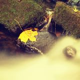 Autumn colorful leaf. Castaway on wet slipper stone in stream Royalty Free Stock Image