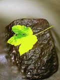 Autumn colorful leaf. Castaway on wet slipper stone in stream Stock Image