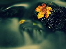 Autumn colorful leaf. Castaway on wet slipper stone in stream Royalty Free Stock Photos