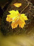 Autumn colorful leaf. Castaway on wet slipper stone in stream Stock Photo