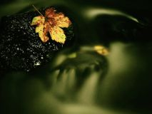 Autumn colorful leaf. Castaway on wet slipper stone in stream Royalty Free Stock Images