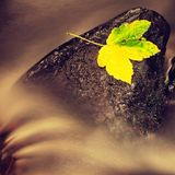 Autumn colorful leaf.The colorful broken maple leaf fallen on sunken basalt stone in blurred water of mountain stream. Fall weathe Royalty Free Stock Photo