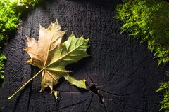 Autumn. Colorful leaf of maple on black wooden texture with moss Stock Photo