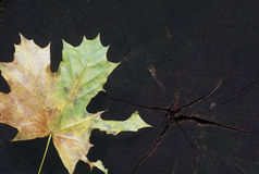 Autumn. Colorful leaf of maple on black wooden texture with moss Stock Image