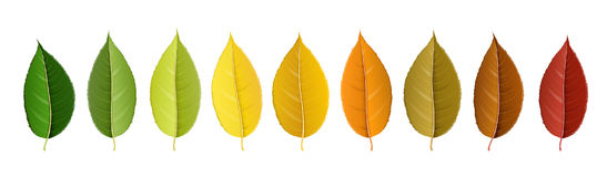 Autumn colorful leaf palette in row. Colorful autumn leaf palette in row, with shades of fall isolated on white. Realistic vector illustration for autumn and Royalty Free Stock Image