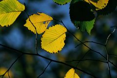 Autumn, colorful leaves Royalty Free Stock Images