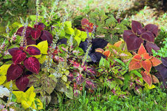 Autumn colorful leaves - Coleus and Hypoestes. Royalty Free Stock Photo