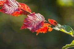 Autumn colorful leaves at Corfu Greece. Stock Image