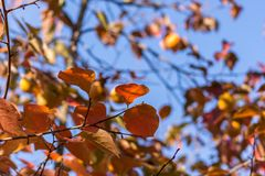 Autumn colorful leaves at Corfu Greece. Royalty Free Stock Images
