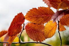 Autumn colorful leaves of elm Stock Photos