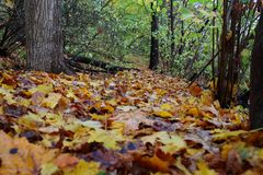 Autumn colorful leaves in the forest Stock Photography