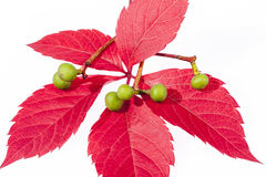 Autumn colorful  leaves  of parthenocissus on white background Stock Photo