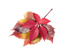 Autumn colorful  leaves  of parthenocissus on white background Stock Image