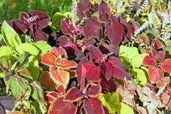 Autumn colorful leaves plants - Coleus and Hypoestes. Stock Photos