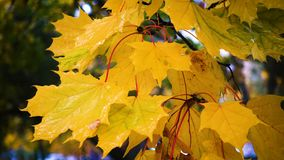 Autumn colorful leaves at rainy park stock footage