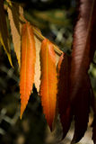 Autumn. Colorful autumn leaves on a tree Stock Photography