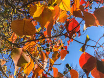 Autumn colorful leaves on the tree Royalty Free Stock Photos