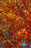 Autumn colorful leaves. Colorful leaves on autumn trees in the forest Royalty Free Stock Photography