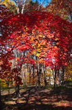 Autumn colorful leaves. Colorful leaves on autumn trees in the forest Royalty Free Stock Images