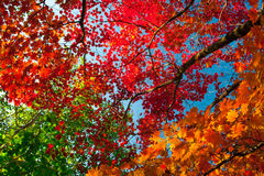 Autumn colorful leaves. Colorful leaves on autumn trees in the forest Royalty Free Stock Photos