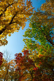 Autumn colorful leaves. Colorful leaves on autumn trees in the forest Stock Image