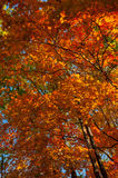 Autumn colorful leaves. Colorful leaves on autumn trees in the forest Stock Photos