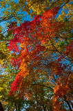 Autumn colorful leaves. Colorful leaves on autumn trees in the forest Stock Images