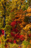 Autumn colorful leaves. Colorful leaves on autumn trees in the forest Stock Photography