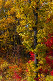 Autumn colorful leaves. Colorful leaves on autumn trees in the forest Stock Photo