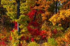 Autumn colorful leaves. Colorful leaves on autumn trees in the forest Royalty Free Stock Photo