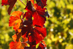 Autumn colorful  leaves on  vineyards Stock Photos