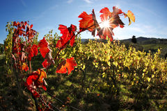 Autumn colorful  leaves on  vineyards Stock Image
