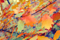 Autumn colorful leaves. Vintage autumn colorful leaves background Royalty Free Stock Images